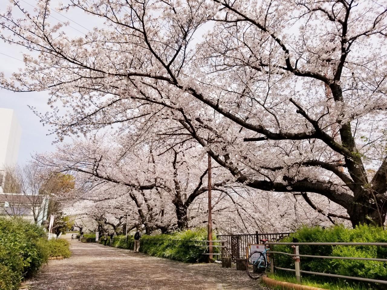 桜(山崎川・扇川)_210329_3