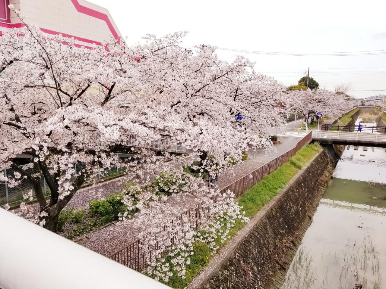 桜(山崎川・扇川)_210329_0