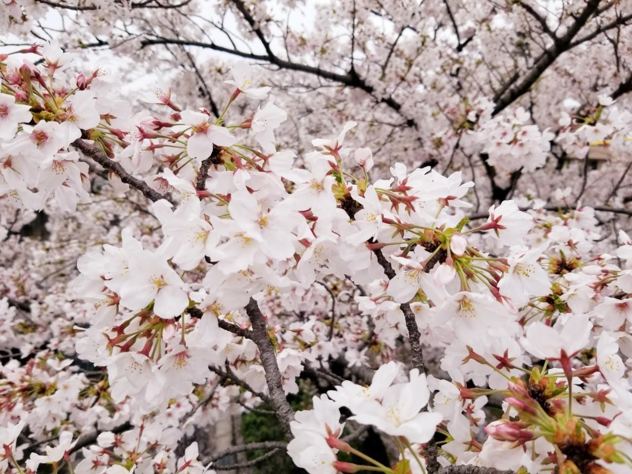 桜(山崎川・扇川)_210329_1