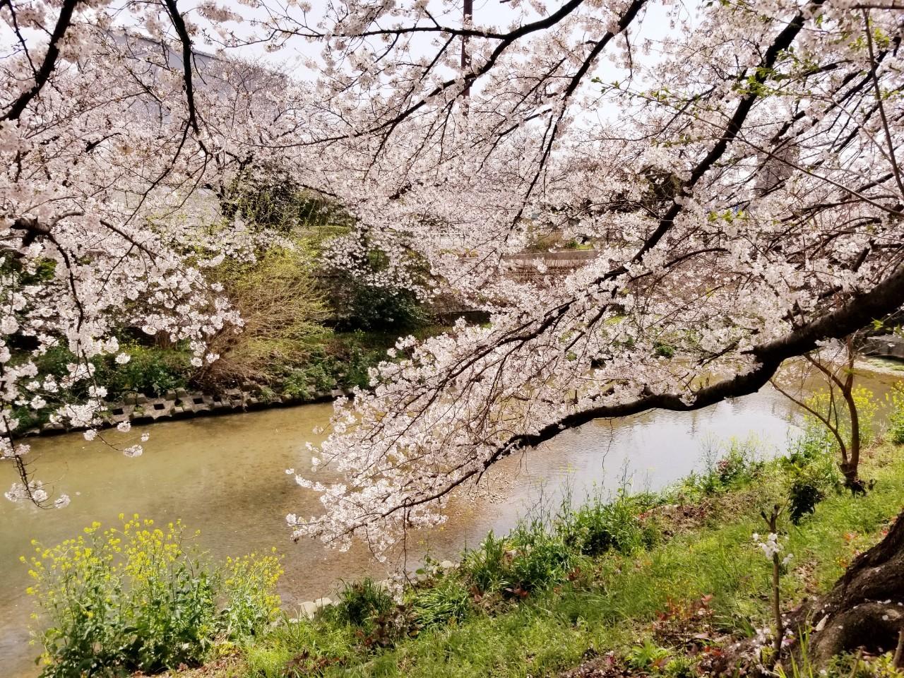 桜(山崎川・扇川)_210329_4